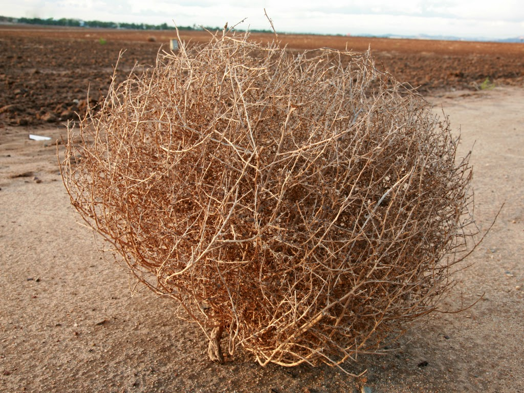 CO-Horts: Weed Of The Moment: Kochia