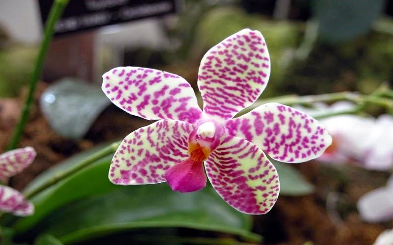 Las orquídeas u orquidáceas son una familia de plantas monocotiledóneas que se distinguen por la complejidad de sus flores y por sus interacciones ecológicas con los agentes polinizadores y con los hongos con los que forman micorrizas.
