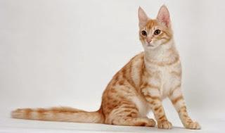 Gambar Kucing Anggora Lucu dan Imut 100013