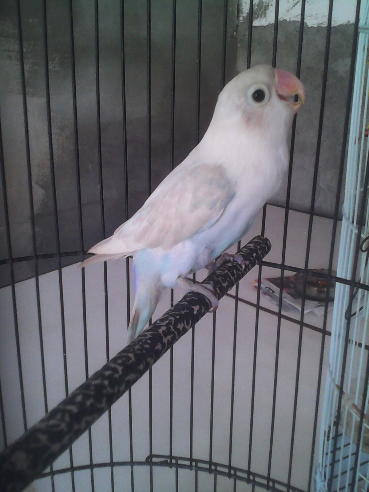 sb 45 bird farm   penghobbi dan peternak burung di surabaya