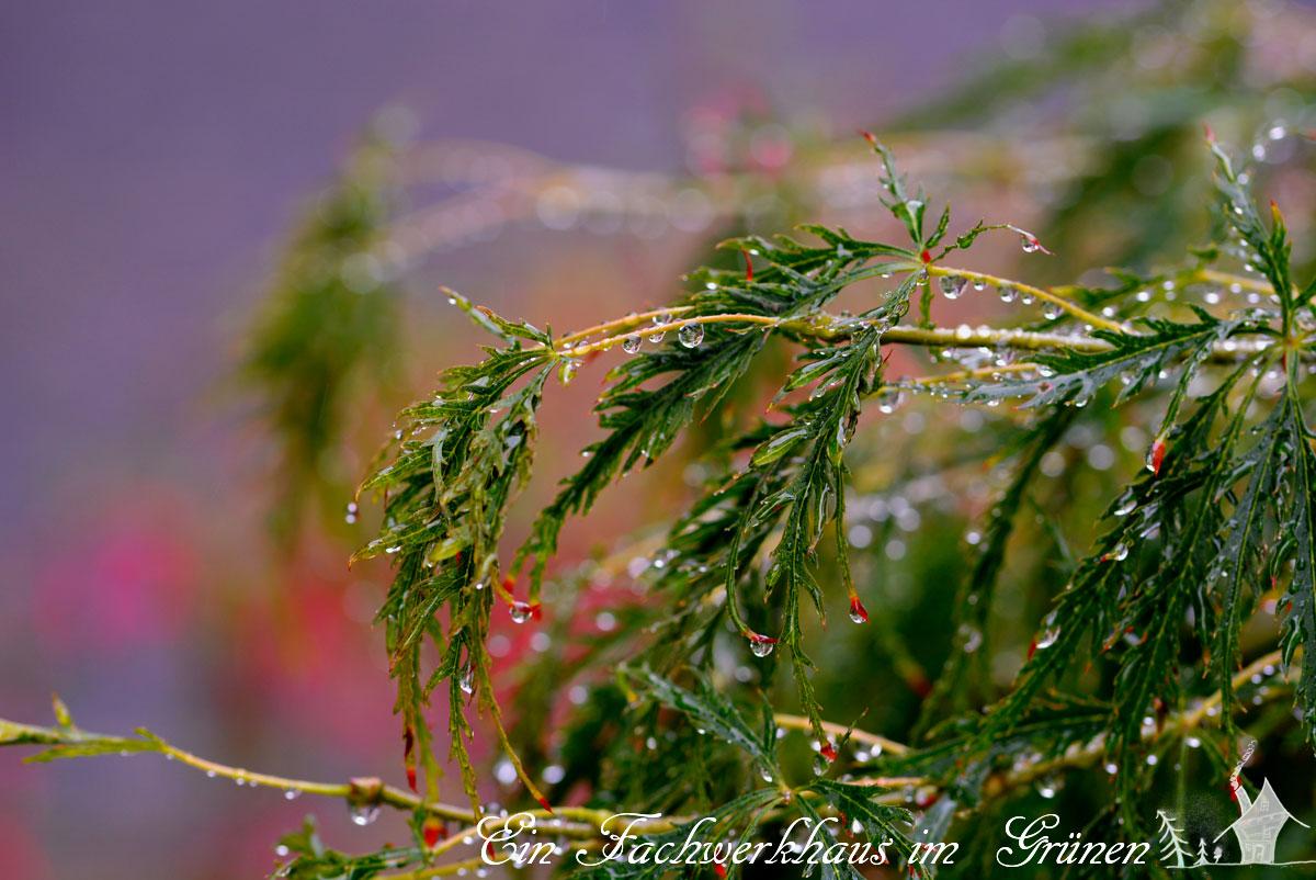 Ahorn, Regenbild, Gartenglück