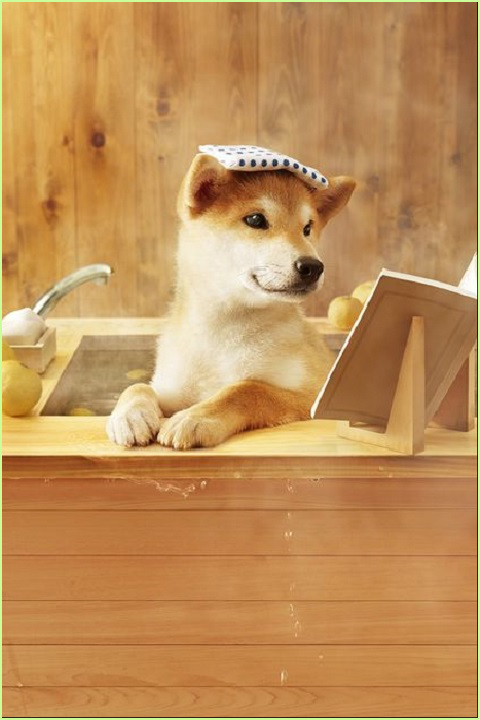 "Spa Day for Doge! Doge loves to read while relaxing at the spa. As Doge says, ""Now that I have my Library Card, I can choose my favorite books and get them to read at the Spa!"" Doge looks straight at you and asks, ""Do you have your library card?"" #adorable #Shiba #doge #spa #dogs #books #read"