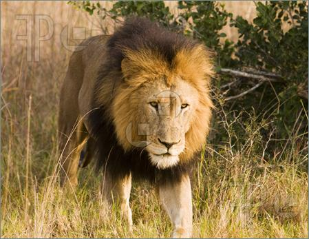 Wild Lion | Wild Life Adventures