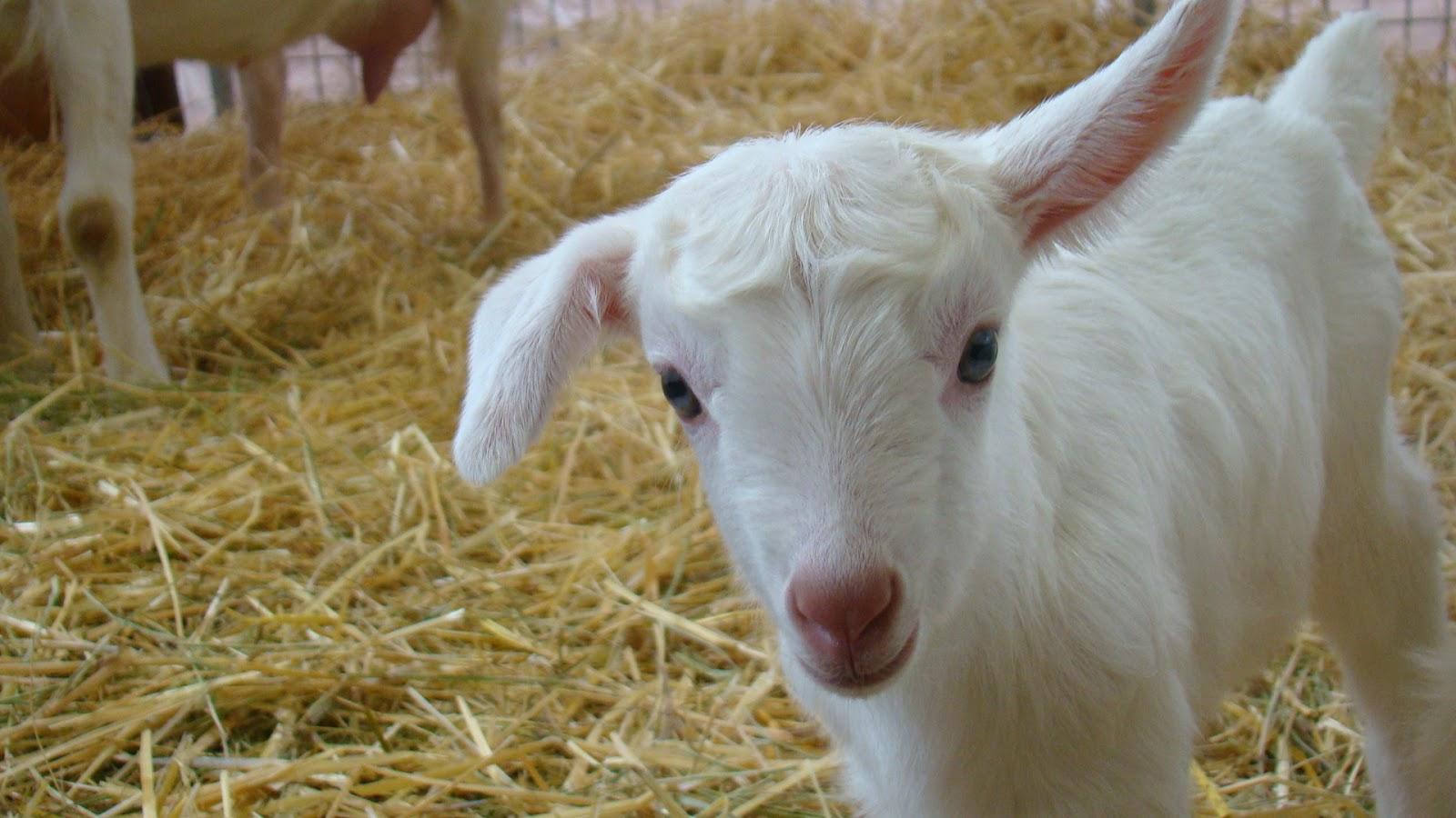 Cute Baby Goats Jumpin...