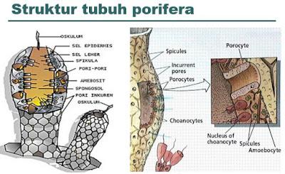 Struktur Tubuh Porifora