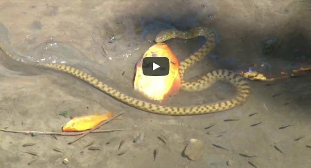 Βίντεο από το φράγμα Αποσελέμη: Φίδι τρώει χρυσόψαρο μέσα στο νερό!