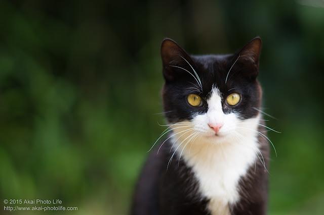 凛々しいハチワレの白黒の猫