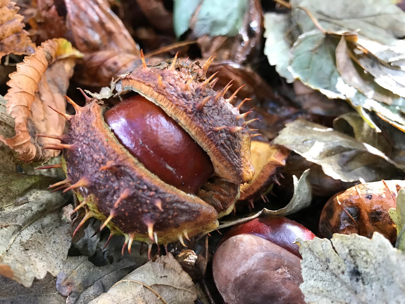 A spiky conker on brown leaves signalling the start of Autumn and cold weather