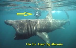 ikan hiu besar yang aman dengan manusia