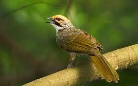 Burung Cucak Rawa, Jenis Burung Berkicau