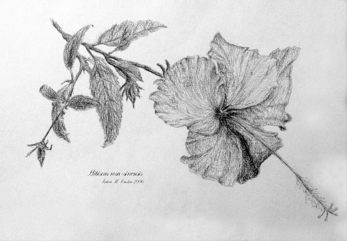 Hibiscus rosa sinenis pencil drawing