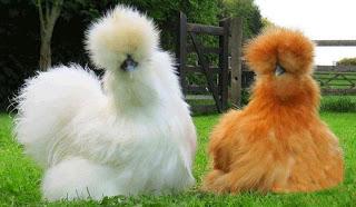 ilginç tavuklar