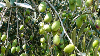 Olives on an olive tree in Sonoma Valley