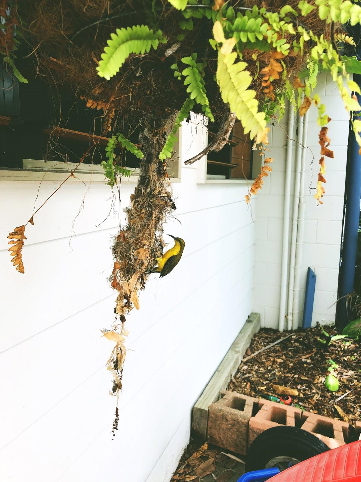 Ptak siedzący na swoim wiszącym gniazdku na terenie kempingu w Cardwell.
