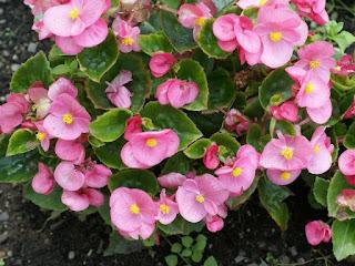 Begonia semperflorens Sprint Pink