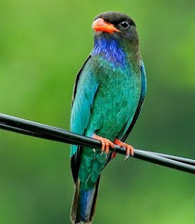 Download Mp 3 Suara Burung Tengkek Buto Paling Lengkap Dan Terbaru