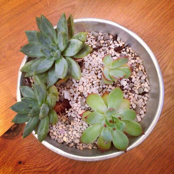 古いアルミのボールに植えたエケベリア科の多肉植物