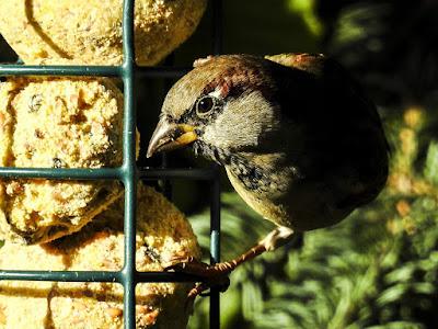 super-house-sparrow-p900