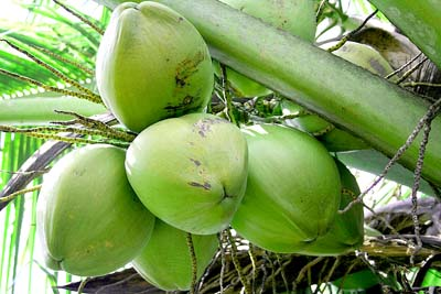 seven benefits of coconut water The coconut water craze isn't going away anytime soon, and there's an array of reasons as to why coconut water is extracted from young green coconuts.