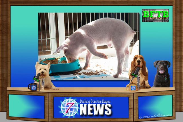 BFTB NETWoof News set with pig in background