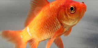 Bedanya Ikan Komet Dengan Ikan Mas