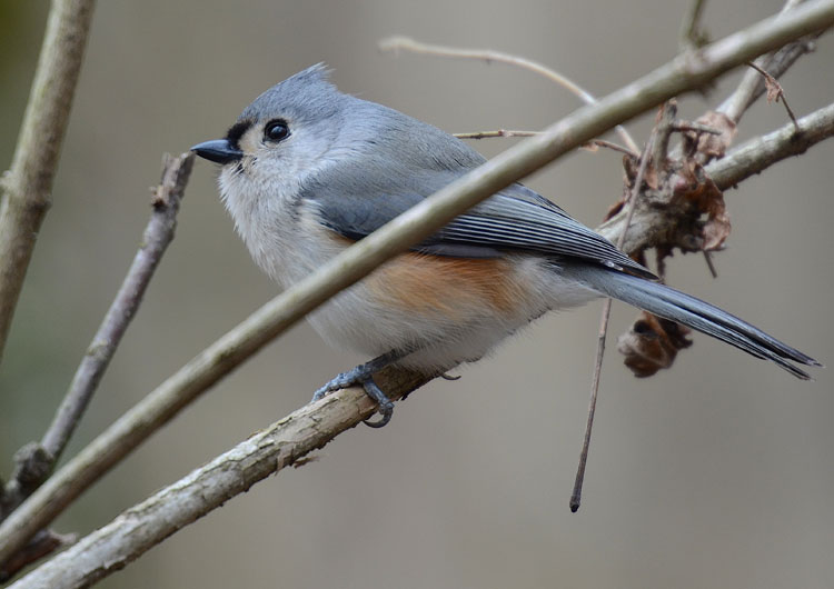 Gray on gray...Tufted Titmouse (Baeolophus bicolor) in the winter
