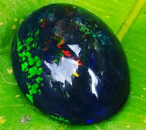 cara merawat kalimaya black opal