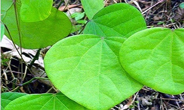 Abútua (Cissampelos pareira, Cissampelos vitis)