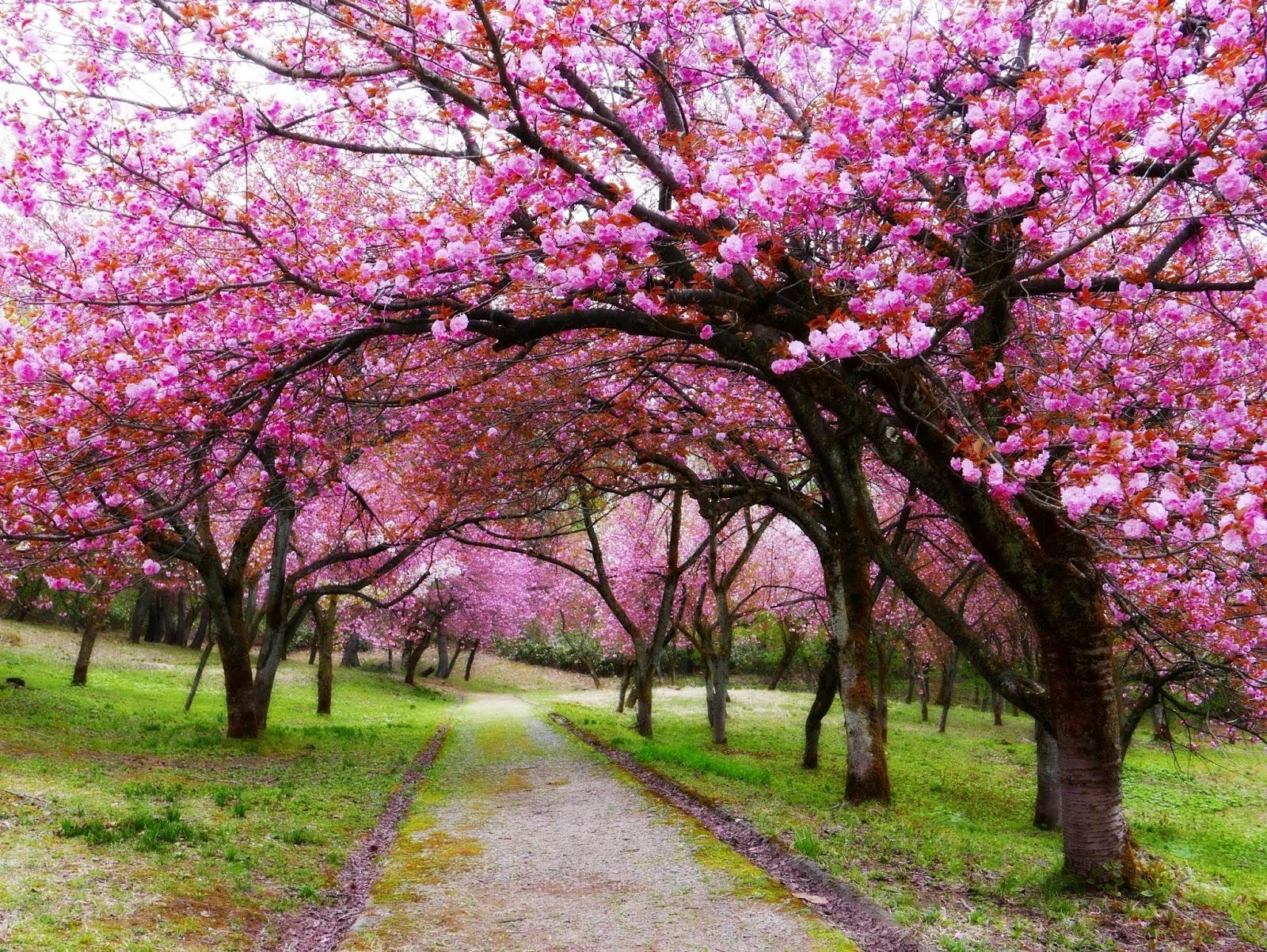 Home N Decor Nozomi Crafts Cherry Blossom Forest In Niigata Prefecture