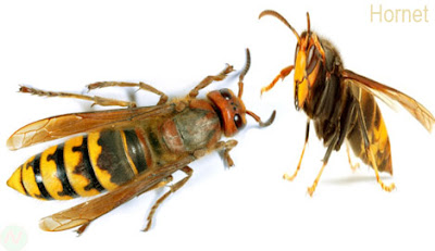Hornet, Hornet insect,ভীমরুল