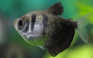 ikan hias black tetra