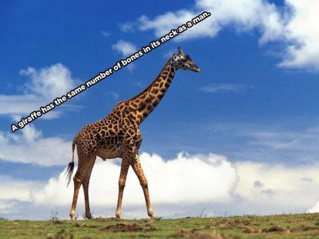 animal facts, amazing animal facts, facts about animals, a giraffe has the same number of bones in its neck as a man