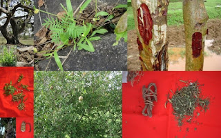 Pankaj Oudhia's Blog on Medicinal Plants, Entomotherapy and