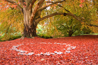 Mushroom fairy ring in autumn leaves under a large tree