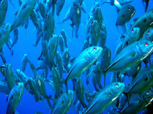 Shoals of trevally hunting the walls outside Maya Bay