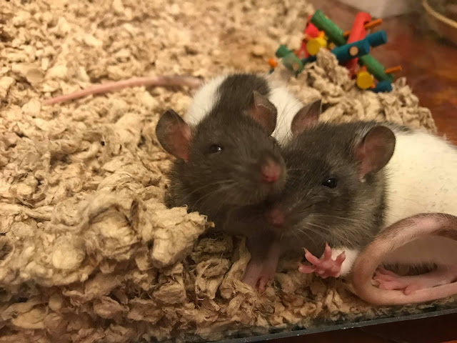 pet rats cuddling with each other