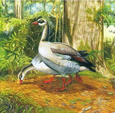 ganso de Mauricio Alopochen mauritianus