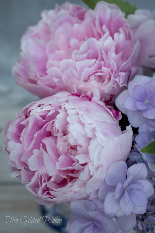 Pink Peonies and Periwinkle Hydrangea Blossoms- www.gildedbloom.com