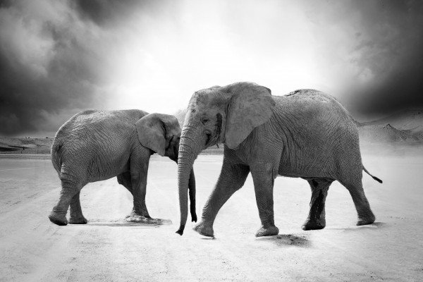 immagine di due elefanti in bianco e nero