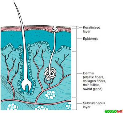 Diagram of the layers of skin and tissues in which fungal infections can occur.