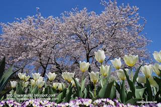 桜とチューリップの花