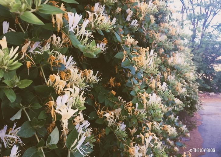 wall of honeysuckle // www.thejoyblog.net
