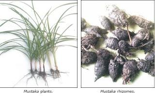 mustaka plants
