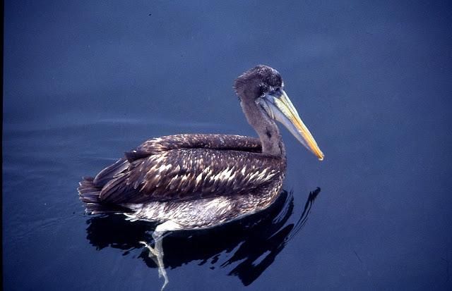 Pélican thage – Pelicanus thagus