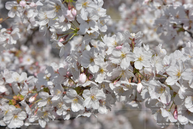 花 桜 Sweet Blanche George Wallington