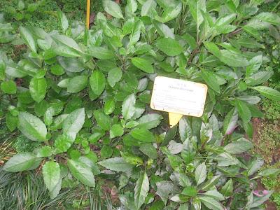 Tanaman Sayuran, Tanaman Obat Herbal, macam-macam tanaman obat keluarga, Membudidayakan tanaman herbal, Jenis dan manfaat tanaman-tanaman herbal, manfaat daun kumis kucing, daun kumis kucing, Manfaat daun dewa bagi kesehatan