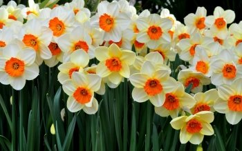 daffodil flower wallpaper