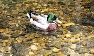Mallard Duck HD Wallpapers