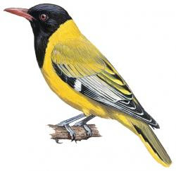 African black headed Oriole