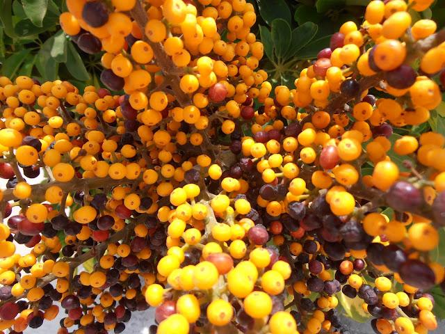 CHEFLERA: Schefflera arboricola